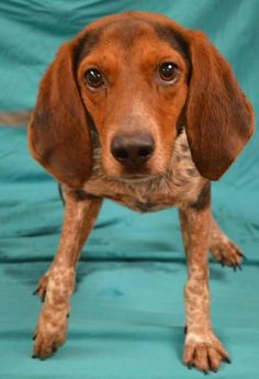Shorty Dog • Beagle Mix • Adult • Male • Large Walton County Animal Shelter Defuniak Springs, FL