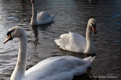 Always liked swans. Swans, Animals Beautiful, Poetry, Birds, Landscape, Friends, Nature, Summer, Beauty