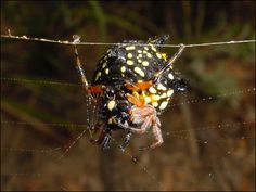 The Jewel Spider also called a Spiny Spider or a Christmas Spider (Astracantha minax)