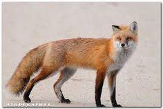 red fox - Google Search