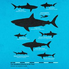 Deadliest Sharks - but think picture of man should be largest predator pic in graphic