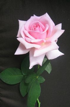 Pink Rose......