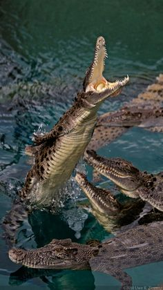 Saltwater Crocodiles in Darwin, Australia. - When crocs fly! - by Kaldohmaru*
