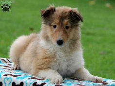 Lilah, a sweet Collie puppy for sale!