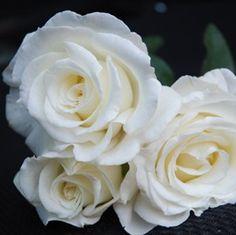 ROSIER 'FRÉDÉRIC DARD®' - Une rose d'un blanc élatant, choisie par un auteur de romans noirs !