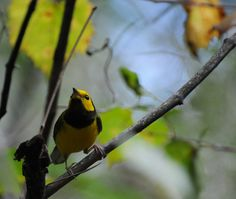 Hooded Warbler from the Francis Beidler Swamp