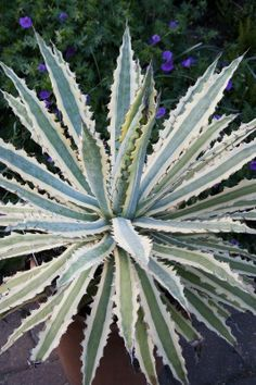 Agave xylonacantha 'Frostbite' World of Succulents