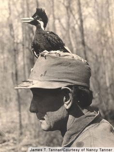 james t tanner was a biologist studying ivory billed woodpeckers in the 30s a