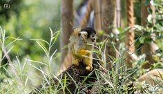 Squirrel Monkey | ©2012 nopincode | All rights reserved
