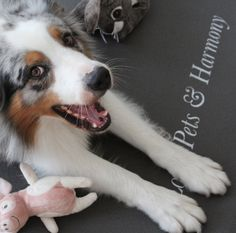 Hunde lieben unsere Family Yogamatte :0) #aussie #bluemerle #yogadog Blue Merle, Husky, Corgi, Pets, Animals, Dog Owners, Cats, Dryer, Corgis