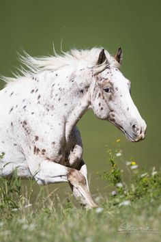 Seeing spots #horses Appaloosa horse running through the field.