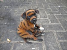 Tigerdog, Tigerdog. Does whatever a Tigerdog does!