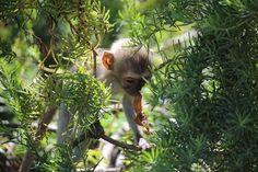 Scimmietta furbetta, al Parco Nazionale Tsavo East #Kenya #twitpic
