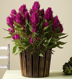 Vibrant Celosia plant in a country-casual, wooden picket fence planter. #gifts