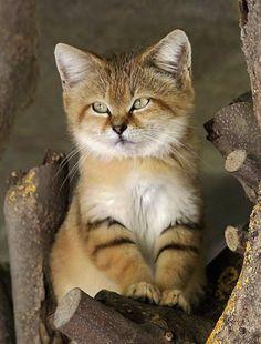 ผลการค้นหารูปภาพสำหรับ desert kitten
