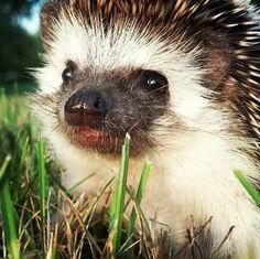 African Hedgehog