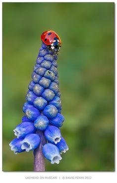 ladybug on blue flower