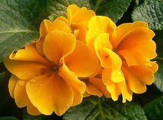 Beijo-colorido amarelo