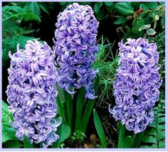 Hyacinths.  What a heavenly smell.