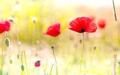 kırmızı çiçek gülçin ağsar