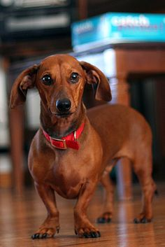 Red #cute #doxie #dachshund