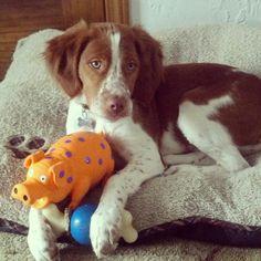 Relaxing, Brittany Spaniel pup, Monty...  #Montylvb