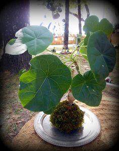 kokedama & co.: succulenta