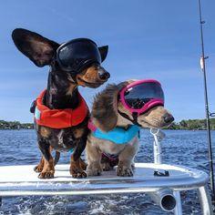 "Crusoe the celebrity dachshund — ""Gettin' my makeup ready to go on TV with. Crusoe The Celebrity Dachshund, Dresser, Ready To Go, Easter Bunny, Sons, Celebrities, Instagram, Anime Fnaf, Dachshunds"