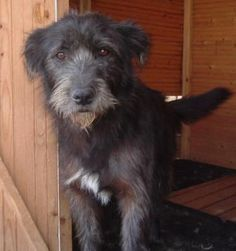 """irish wolfhound airedale terrier mix"" Google Search"