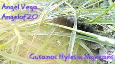 Cazando Gusanos Peludos (Hylesia Nigricans) con mi Smartphone x Angelof20