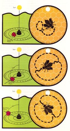 "Diagram from Tom Lewis, page 622, Figure 31.12: ""The dance language of bees. The round dance (top) is performed only when the nectar source is close at hand and stimulates other workers to search the general area of the hive. The tail-wagging dance for distant nectar sources indicates to other workers where to fly and how far to fly in relation to the sun's position."""