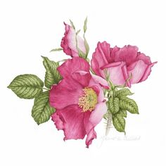 Yvonne Collard - Society of Botanical Artists Illustration Botanique, Botanical Illustration, Watercolor Illustration, Botanical Flowers, Botanical Prints, Watercolor Rose, Watercolor Paintings, Decoupage, Fruit Art