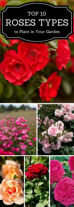 So many different varieties of roses for your garden.
