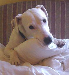 146 Best Deaf Dogs Images Deaf Dog Dalmatians Puppy Love