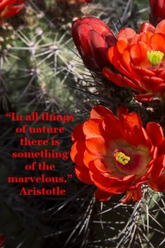 """""""In all things of nature there is something of the marvelous."""" Aristotle – On image of HEDGEHOG CACTUS IN BLOOM in TUCSON, ARIZONA by F&JMcGinn -- Arizona's Sonoran desert in bloom is a very real delight.  Learn more at http://www.examiner.com/article/springtime-delights-america-s-national-parks"""