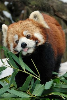 Red Panda sticking its tongue out.