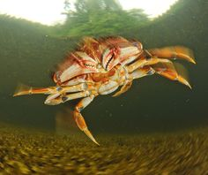 Photograph by @thomaspeschak The Dugeness crab inhabits eelgrass beds and other shallow water marine ecosystems off North America's west coast. This particularly crab in the Pacific Ocean off Canada's Great Bear Rainforest was not in the mood to be photographed and decided to leap over my camera and out of the shot. @ilcp_photographers @saveourseasfoundation @pacificwild @natgeocreative For more images from Canada's Wild Seas follow @thomaspeschak by natgeo