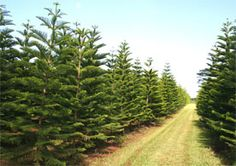 Our local grown Norfolk Pine Christmas trees...I love Hawaiian Christmas!