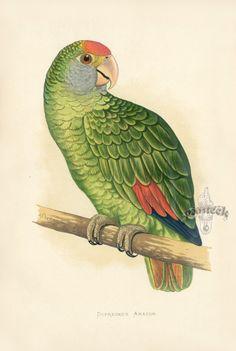 Antique Parrot Prints by Alexander F. Lydon from W. Greene's Parrots in Captivity Vintage Art Prints, Vintage Birds, Antique Prints, Vintage Postcards, Amazon South America, Amazon Birds, Parakeet Bird, Vintage Illustration, Bird Book