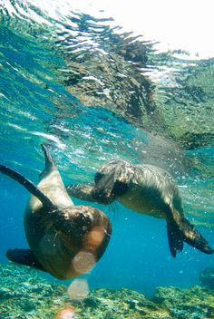 Snorkeling with sea lions in the Galapagos -- can't get enough of these playful pups!