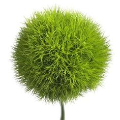 Dianthus Green Ball