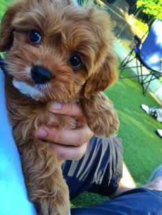 #cavoodle #puppy