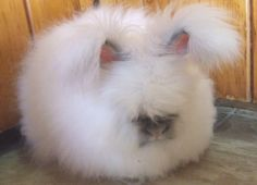 The Angora rabbit of Ankara ~ Facts: Things That You Never Knew