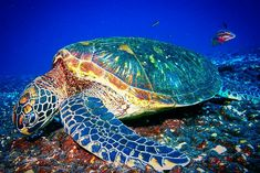 Sea Turtle Amphibians, Reptiles, Life Under The Sea, Super Cute Animals, Turtle Love, Ocean Creatures, Sea Turtles, Ocean Life, Marine Life