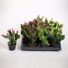 Kerstcactus. Dit is een van de weinige planten die van nature in de winter bloeien. Hoogtepunt van de bloei rond november-december. Tijdens de bloei verlangt de plant vrij veel water. Na de bloei is waterbehoefte gering. Verkiest een lichte plaats bij kamertemperatuur, liefst met hogere luchtvochtigheid.