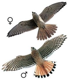 An American kestrel (Falco sparverius) is the smallest and most colorful falcon in North America and is one of the best known. Hawk Species, American Kestrel, Bird Identification, Bird Pictures, Watercolor Bird, Birds Of Prey, Raptors, Falcons, Bird Feathers