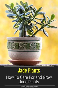 The jade plant is an easy care plant. These small, sturdy succulents are simple and the Crassula (the real name) is a great beginner houseplant, along with the spider plant. We share growing and care details. Growing Plants Indoors, Growing Vegetables, Indoor Garden, Indoor Plants, Abundant Health, Easy Care Plants, Jade Plants, House Plant Care, How To Attract Hummingbirds