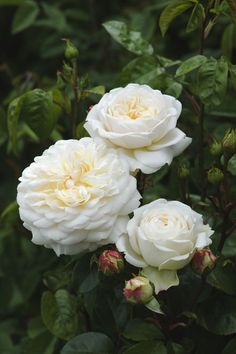 David Austin Rose 'Tranquillity-Ausnoble'
