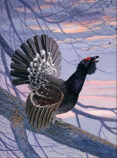 Сapercallie black-billed - (Tetrao urogallus) - Каменный глухарь.