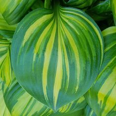Hosta 'Rainbow's End' Hosta Plants, Shade Plants, Garden Plants, Indoor Office Plants, Large Indoor Plants, Side Garden, Lawn And Garden, Hosta Care, Hosta Varieties